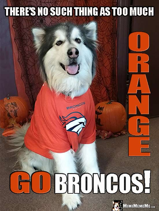Malamute Wearing Broncos' Shirt Says: There's no such thing as too much orange. Go Broncos!