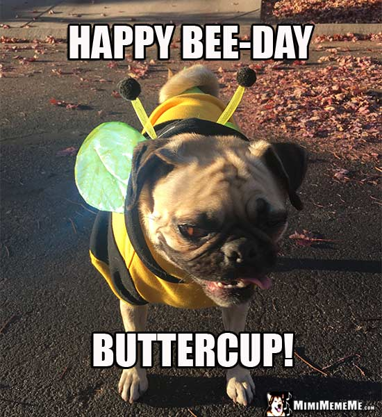 Pug Dressed as a Bee: Happy Bee-Day Buttercup!