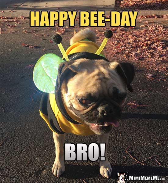 Pug dressed like a bee says: Happy Bee-Day BRO!