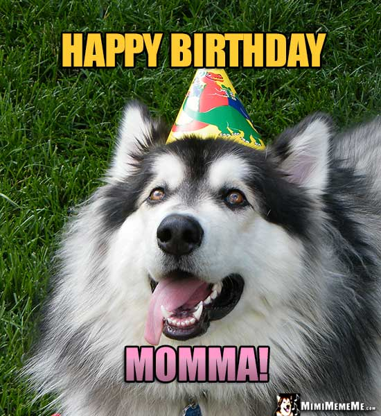 Handsome Malamute Wearing Party Hat Says: Happy Birthday Momma!