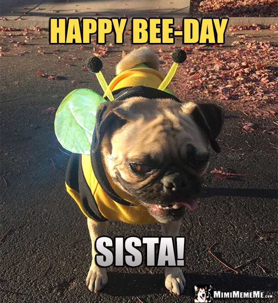 Pug in Bee Costume Says: Happy Bee-Day Sista!