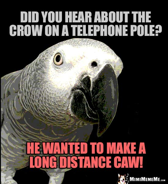 Parrot Comedian Asks: Did you hear about the crow on a telephone pole? He wanted to make a long distance caw!