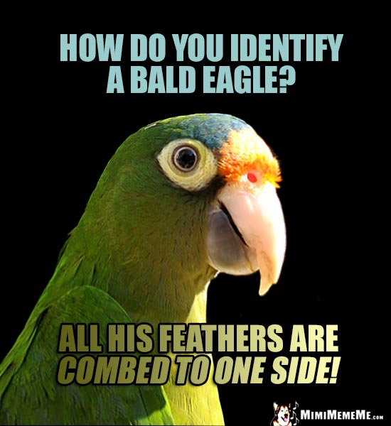 Funny Parrot Asks: How do you identify a bald eagle? All his feathers are combed to one side!