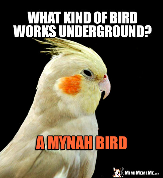 Funny Parrot Asks: What kind of bird works underground? A Mynah Bird