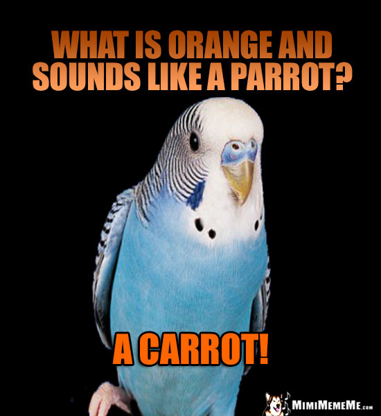 Blue Budgie Asks: What is orange and sounds like a parrot? A Carrot!