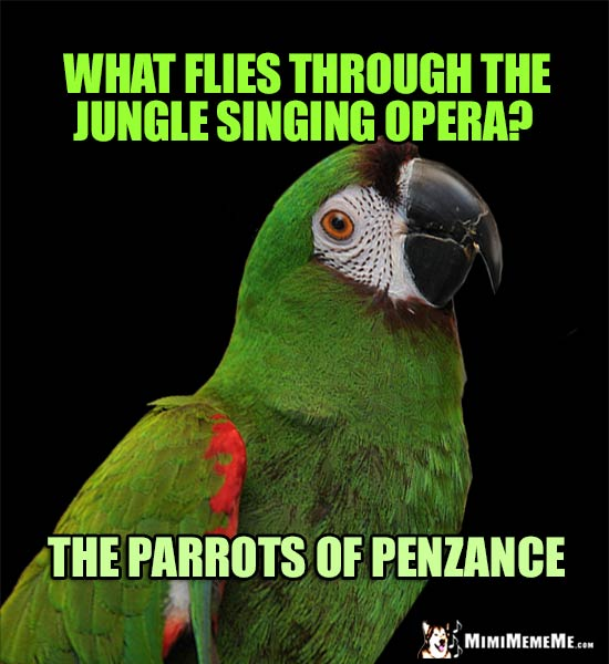 Curious Parrot Asks: What flies through the jungle singing opera? The Parrots of Penzance