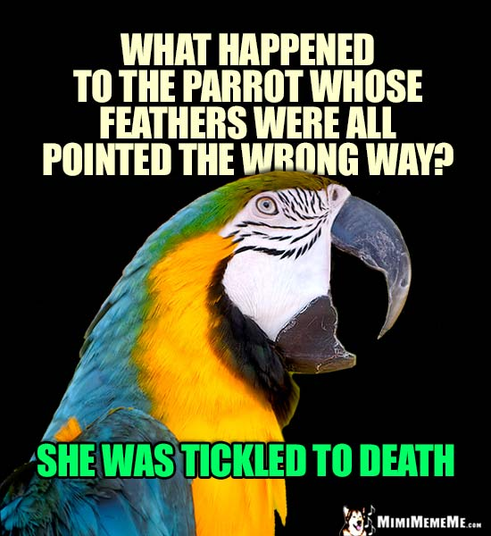 Macaw Asks: What happened to the parrot whose feathers were all pointed the wrong way? She was tickled to death.