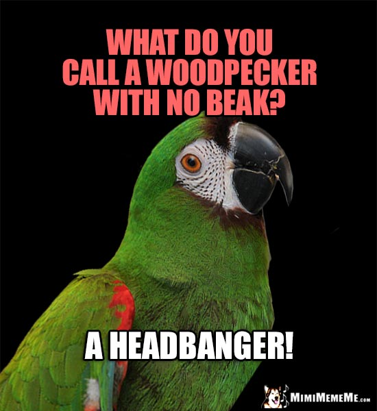 Parrot Telling Bird Jokes: What do you call a woodpecker with no beak? A Headbanger!