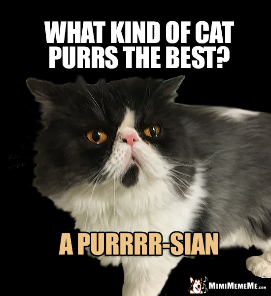 Persian Cat Asks: What kind of cat purrs the best? A Purrrr-sian