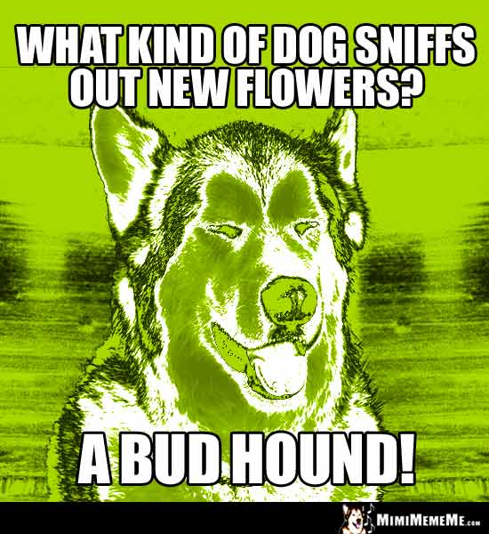 Dog Breed Joke: What kind of dog sniffs out new flowers? A Bud Hound!