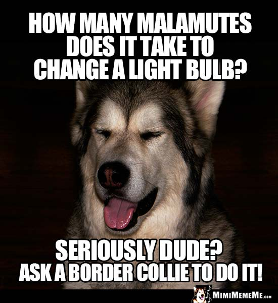 Dog Riddle: How many Malamutes does it take to change a light bulb? Seriously dude? Ask a border collie to do it!