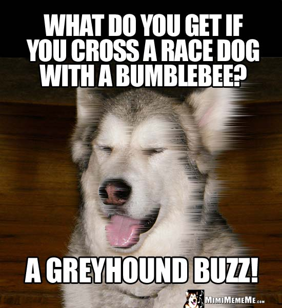 Dog Joke: What do you get if you cross a race dog with a bumblebee? A greyhound Buzz!