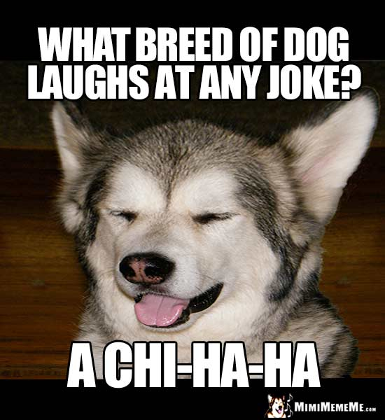 What breed of dog laughs at any joke? A chi-Ha-Ha
