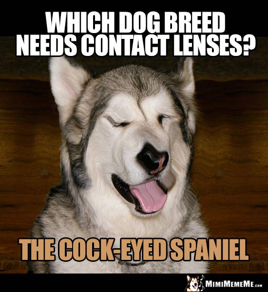 Dog Riddle: Which dog breed needs contact lenses? The Cock-Eyed Spaniel