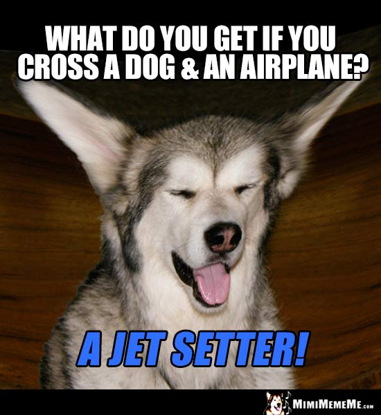 Dog Riddle: What do you get if you cross a dog & an airplane? A Jet Setter!