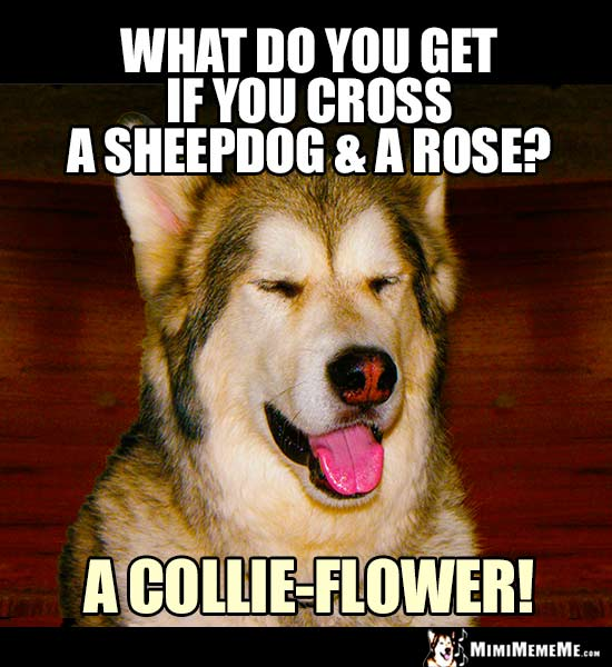 Dog Riddle: What do you get if you cross a sheepdog and a rose? a collie-flower!