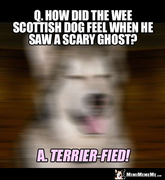 Dog Breed Joke: How did the wee scottish dog feel when he saw a scary ghost? Terrier-fied!