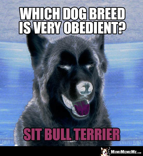 Dog Riddle: Which dog breed is very obedient? Sit Bull Terrier
