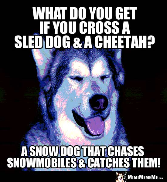 Dog Joke: What do you get if you ross a sled dog & a cheetah? A snow dog that chases snowmobiles & catches them!