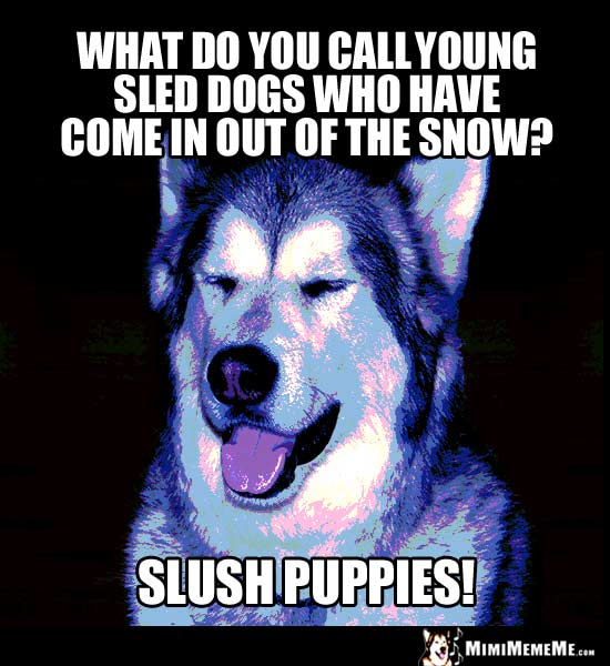 Dog Humor: What do you call young sled dogs who have come in out of the snow? Slush Puppies!