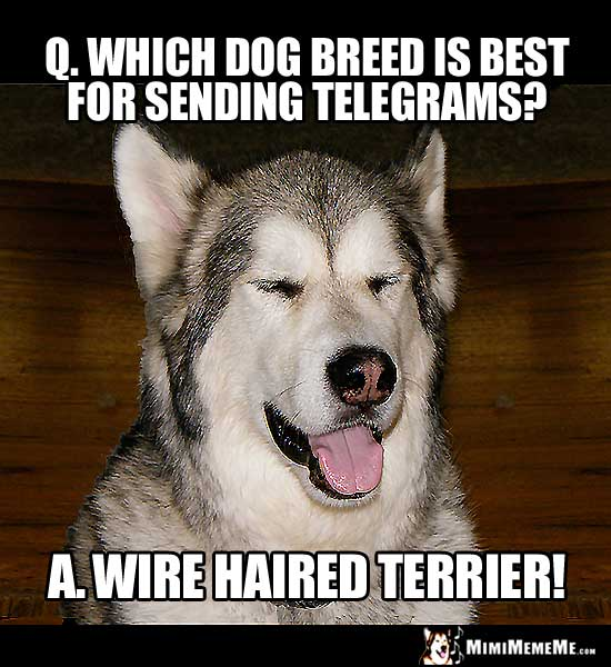 Dog Joke: Which dog breed is best for sending telegrams? Wire Haired Terrier!