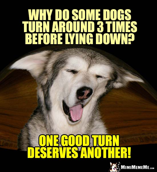 Dog Humor: Why do some dogs turn around 3 times before lying down? One good turn deserves another!