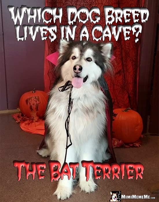 Malamute in Dracula Cape Asks: Which dog breed lives in a cave? The Bat Terrier