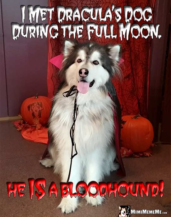 Malamute Wearing Vampire Cape Says: I met Dracula's dog during the full moon. He IS a bloodhound!