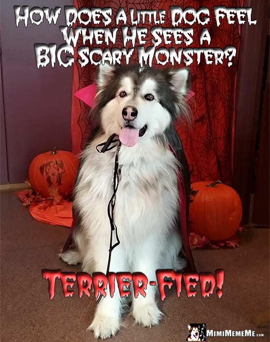 Big Dog Wearing Dracula Costume Asks: How does a little dog feel when he sees a big scary monster? Terrier-fied!