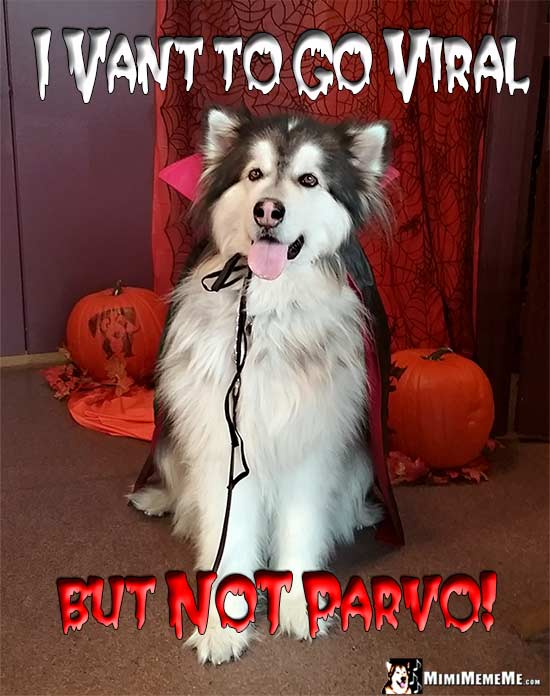 Malamute Wearing Vampire Cape Says: I vant to go viral, but NOT parvo!