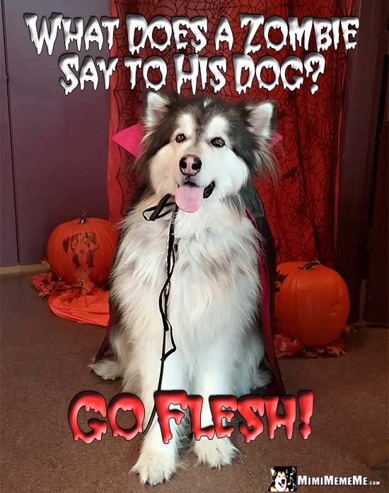 Dog Dressed as a Vampire Asks: What does a zombie say to his dog? Go Flesh!