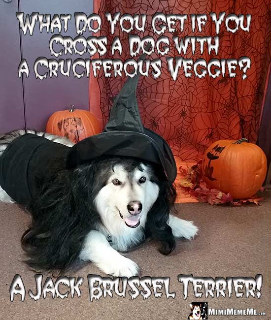 Malamute Dog Wearing Witch Costume Asks: What do you get if you cross a dog with a cruciferous veggie? A Jack Brussel Terrier!