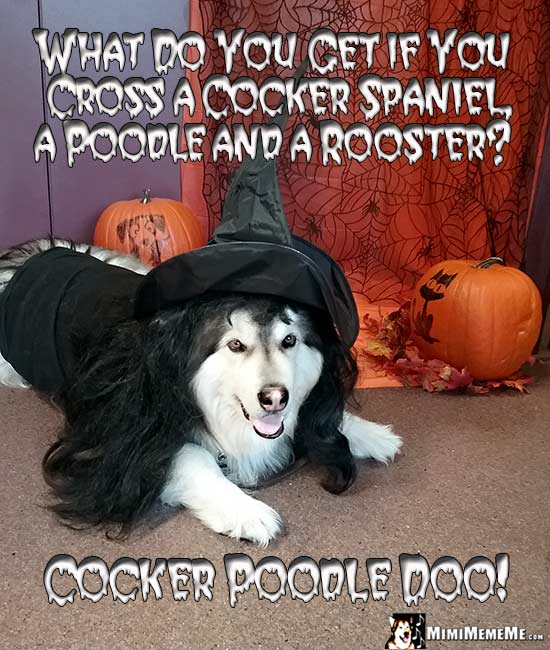 Dog in Witch Costumer Asks: What do you get if you cross a cocker spaniel, a poodle and a rooster? Cocker Poodle Doo!