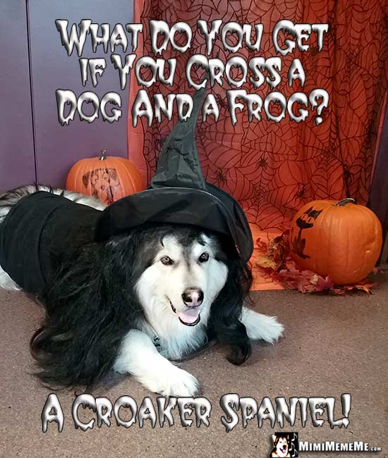 Malamute Wearing Witch Costume Asks: What do you get if you cross a dog and a frog? A Croaker Spaniel!