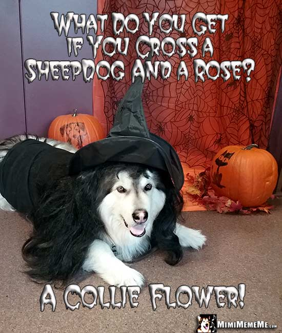 Dog Wearing Witch Costume Asks: What do you get if you cross a sheepdog and a rose? A Collie Flower!