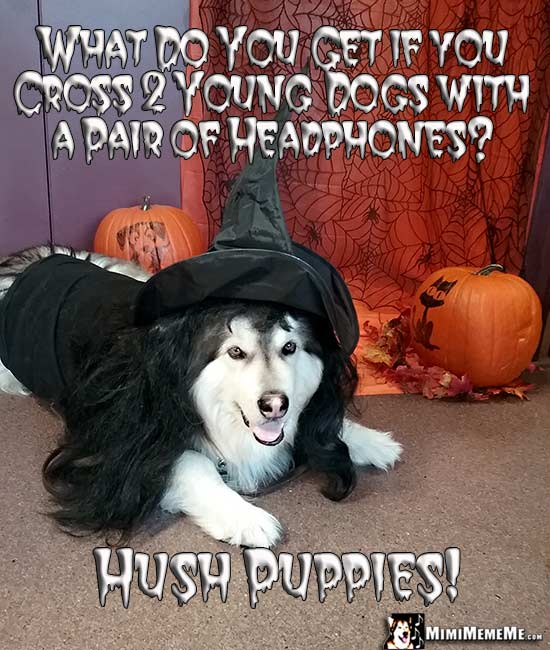 Dog in Witch Costume Asks: What do you get if you cross 2 young dogs with a pair of headphones? Hush Puppies!