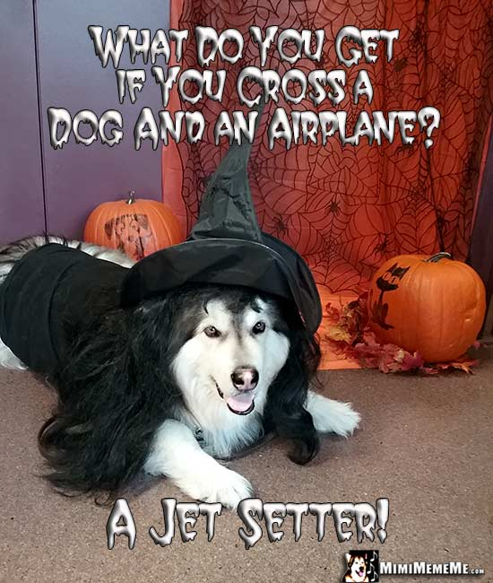 Dog in Witch Costume Riddle: What do you get if you cross a dog and an airplane? A Jet Setter!