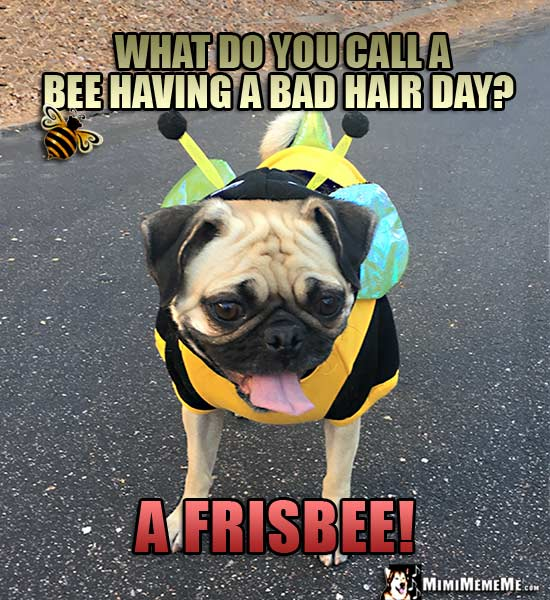 Funny Pug in Bee Costume Asks: What do you call a bee having a bad hair day? A Frisbee!