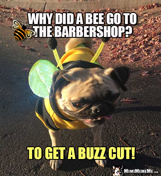 Pug Dressed Like a Bee Asks: Why did a bee go to the barbershop? To get a buzz cut!