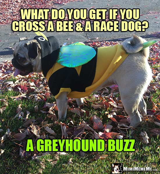 Pug in Bee Costume Riddle: What do you get if you cross a bee & a race dog? A Greyhound Buzz!