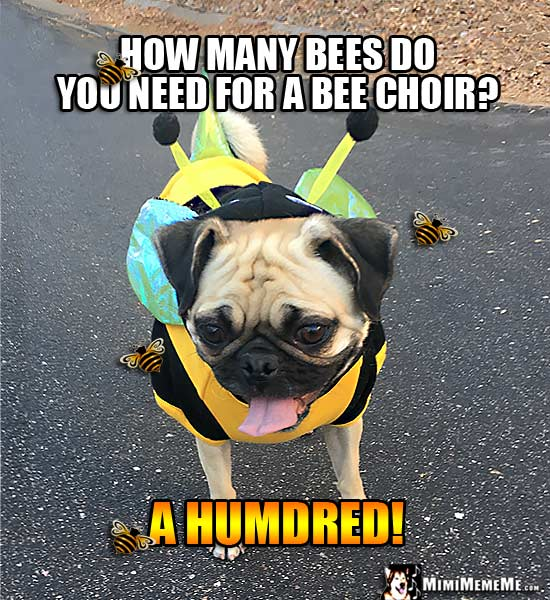 Pug Wearing Bee Costume Joke: How many bees do you need for a bee choir? A Humdred!
