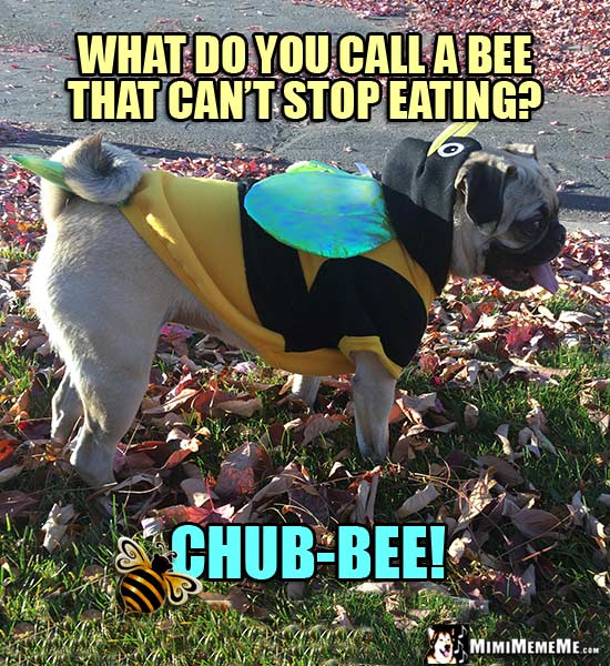 Pug Wearing Bee Outfit Asks: What do you call a bee that can't stop eating? Chub-Bee!