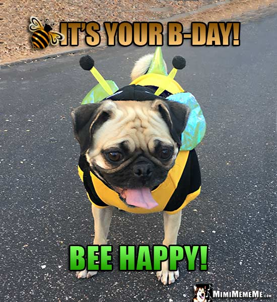Pug Wearing Bee Costume Says: It's Your B-Day! Bee Happy!
