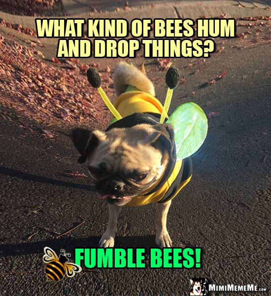 Pug Wearing Bee Outfit Asks: What kind of bees hum and drop things? Fumble Bees!