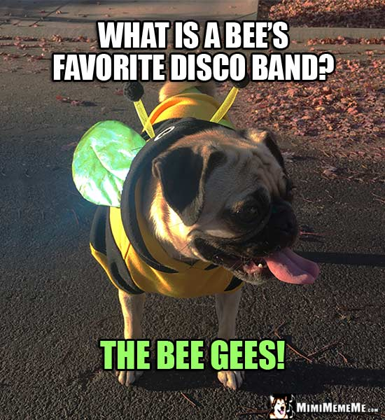Pug Dressed Like a Bee Asks: What is a bee's favorite disco band? The Bee Gees!