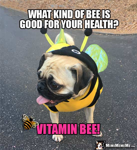 Pug Wearing Bee Costume Riddle: What kind of bee is good for your health? Vitamin Bee!