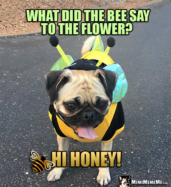 Pug Wearing Bee Costume Asks: What did the bee say to the flower? Hi Honey!