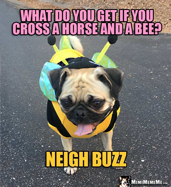 PUg Wearing Bee Outfit Asks: What do you get if you cross a horse and a bee? Neigh Buzz
