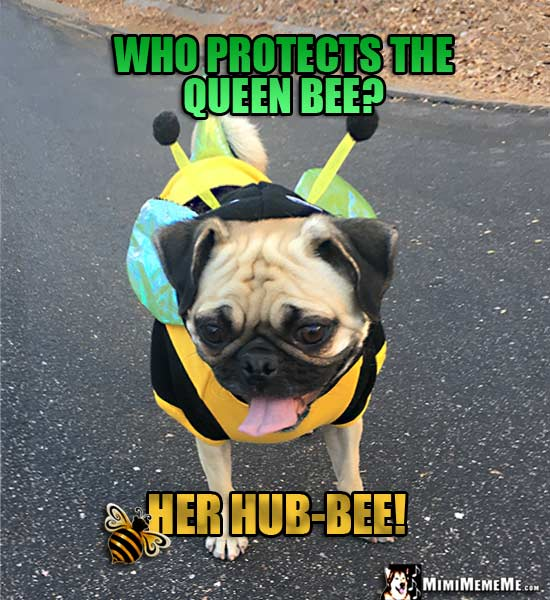 Pug Wearing Bee Costume Says: Who protects the queen bee? Her Hub-Bee!