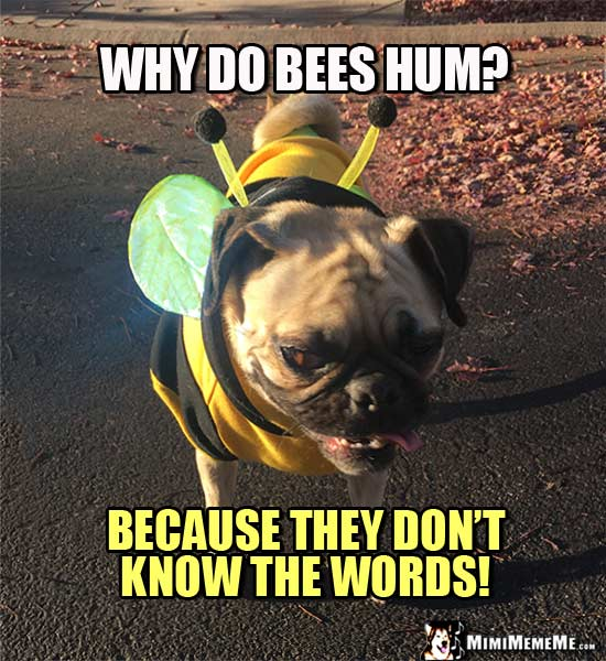 Funny Pug in Bee Costume: Why do bee hum? Because they don't know the words!